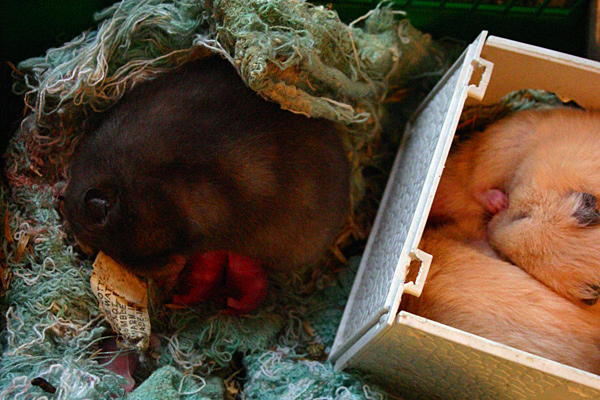 "pictures of hamsters giving birth. Saturday morning one of the Miguel hamsters (now dubbed ""Girl Miguel,"" for"